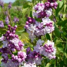 Syringa vulgaris 'Sweetheart'