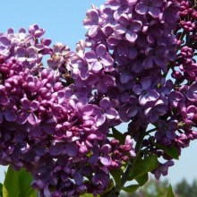 Syringa vulgaris 'Uncle Tom'