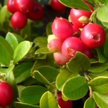 Vaccinium vitis-idaea 'Koralle'