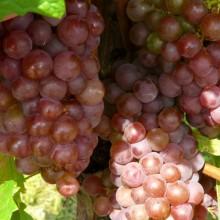 víno 'Festivalnyj'