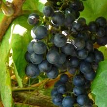 víno 'Frankovka'