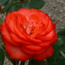 Rosa hybr. 'Anne Cocker'