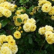 Rosa hybr. 'Friesia'