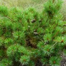 Pinus parviflora 'Komatsu'