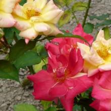 Rosa hybr. 'Masquerade'