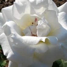 Rosa hybr. 'Mount Shasta'