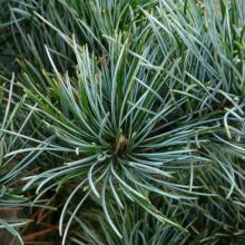 Pinus parviflora 'Negishi'