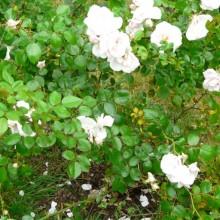 Rosa hybr. 'New Dawn' | po výsadbě