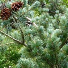 Pinus parviflora 'Nisbeth'