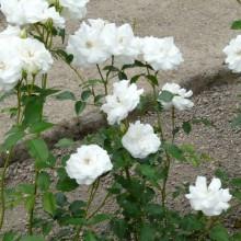 Rosa hybr. 'Schneewittchen'