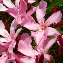 Nerium oleander 'Magaly'