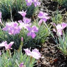 Dianthus gratianopolitanus 'Theresa'