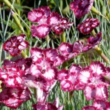 Dianthus gratianopolitanus 'Alena'