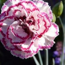 Dianthus hybr. 'Gran's Favourite'