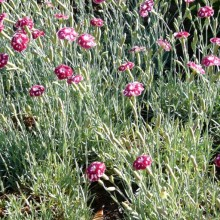Dianthus hybr. 'Sops-in-Wine'