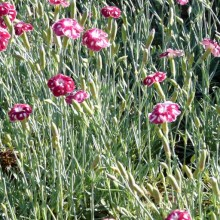 Dianthus hybr. 'Sops-in-Wine'