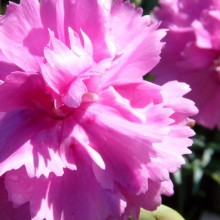 Dianthus hybr. 'Tickled Pink'