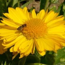 Gaillardia hybr. 'Mesa Yellow'