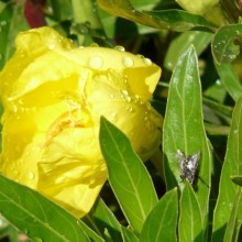 Oenothera macrocarpa 'Greencourt Lemon'
