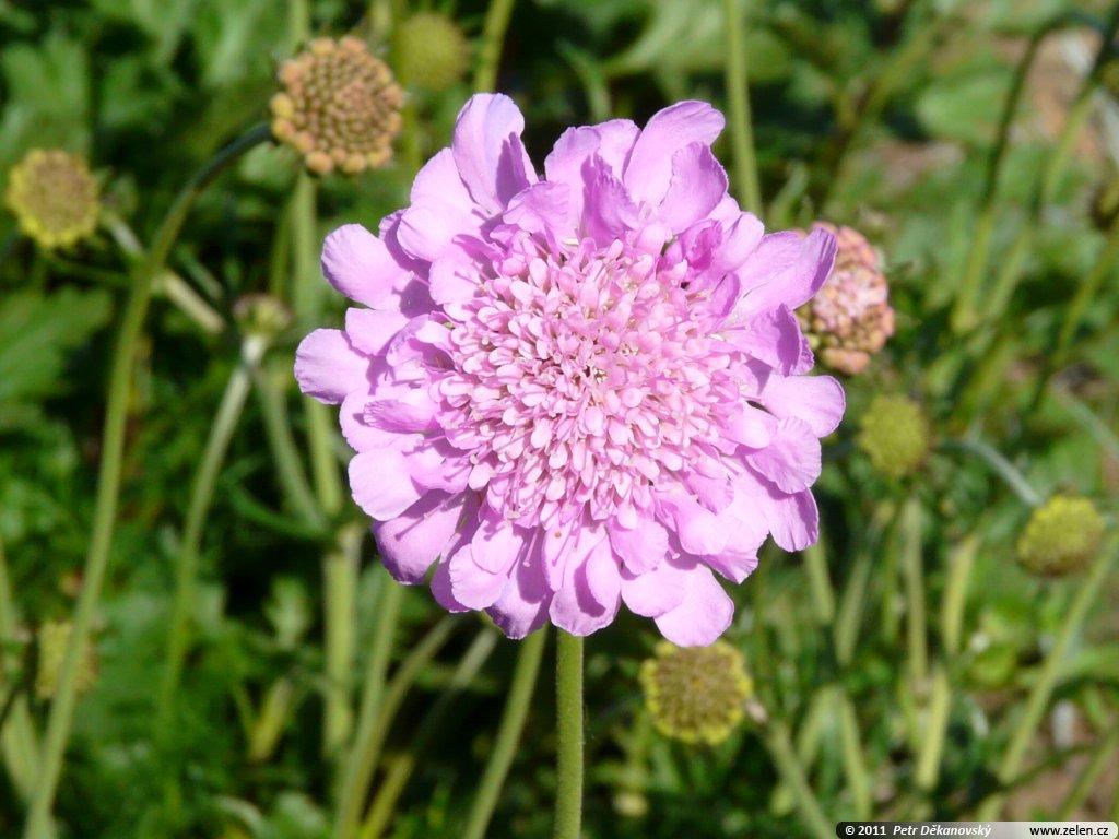 Pin scabiosa pink mist piante perenni per bordure e for Piante perenni per bordure
