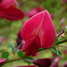 Cytisus x praecox 'Boskoop Ruby'