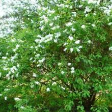 Exochorda racemosa | habitus