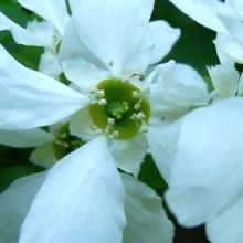 Exochorda racemosa | květ