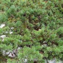 Pinus sylvestris 'Watsoniana'