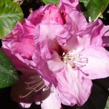 Rhododendron hybr. 'Panenka'