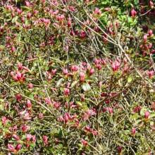 Rhododendron hybr. 'Profesor Jeršov'