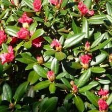 Rhododendron yakushimanum 'Bambola'