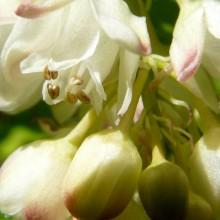 Staphylea pinnata | květy