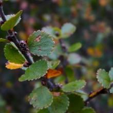 Betula nana | Šumava Jezerní slať, září