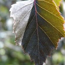 Betula pendula 'Purpurea' | list