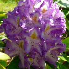 Rhododendron hybr. 'Blue Danube'