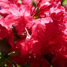 Rhododendron hybr. 'Nicoline'