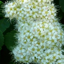 Spiraea betulifolia | květenství