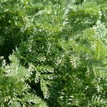 Anthemis marschalliana