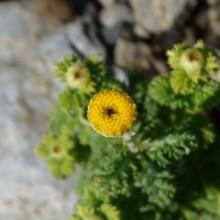 Anthemis tinctoria 'Compacta'