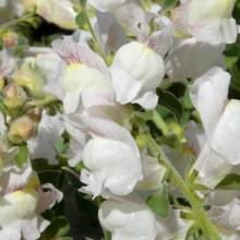 Antirrhinum hispanicum