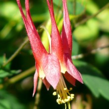 Aquilegia canadensis 'Little Lanterns'