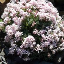 Asperula daphneola
