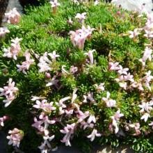 Asperula gussonii