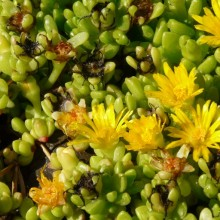 Delosperma deschampsii
