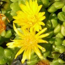 Delosperma deschampsii