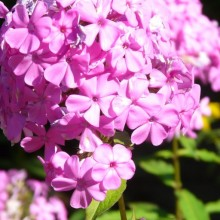 Phlox paniculata 'Little´s Sweet Giant'