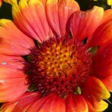 Gaillardia x grandiflora 'Arizona Sun'