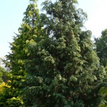 Chamaecyparis lawsoniana 'Glauca Super' | habitus