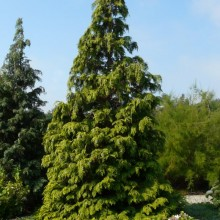 Chamaecyparis lawsoniana 'Golden Wonder' | habitus