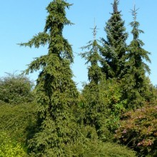 Picea abies 'Rothenhaus' | habitus